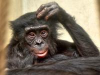 Affen Menschenaffen