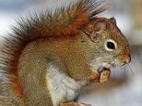 Ein Eichhörnchen im Schnee - Eichhörnchen halten Winterruhe.