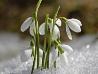 Schneeglöckchen im Schnee
