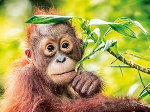 Ein junger Orang Utan im Regenwald
