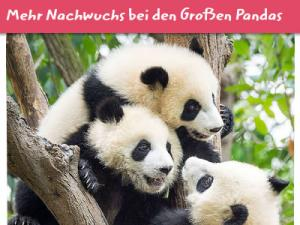 Drei Pandabären sitzen im Baum