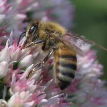Biene sitzt auf einer rosa Blume