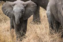 Elephantenbaby in der Savanne