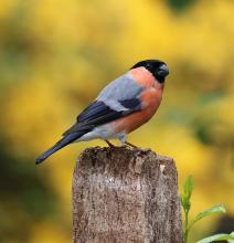 Vögel bestimmen: Ein Gimpel