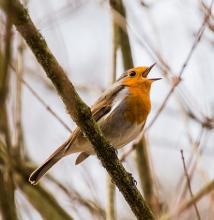 Vogelquiz: Singendes Rotkehlchen